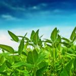 Soybean Field (photo)